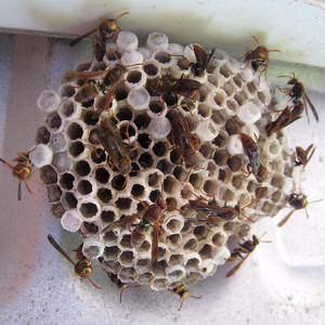 Women put wasp nests in vagina