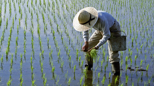 China just invented a rice that can grow in salt water and could feed millions