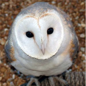 Court authorises killing owl experiment