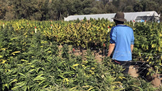 Court bid to stop big California pot farms
